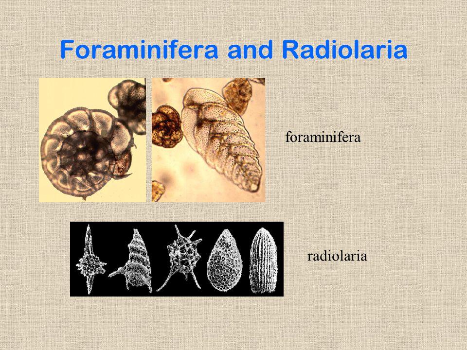 Foraminifera and Radiolaria