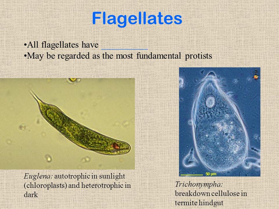 Flagellates All flagellates have __________