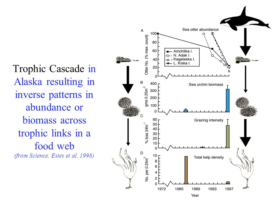 Trophic Cascade in Alaska resulting in inverse patterns in abundance or biomass across trophic links in a food web (from Science, Estes et al. 1998)