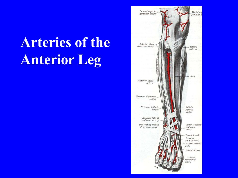 Arteries of the Anterior Leg