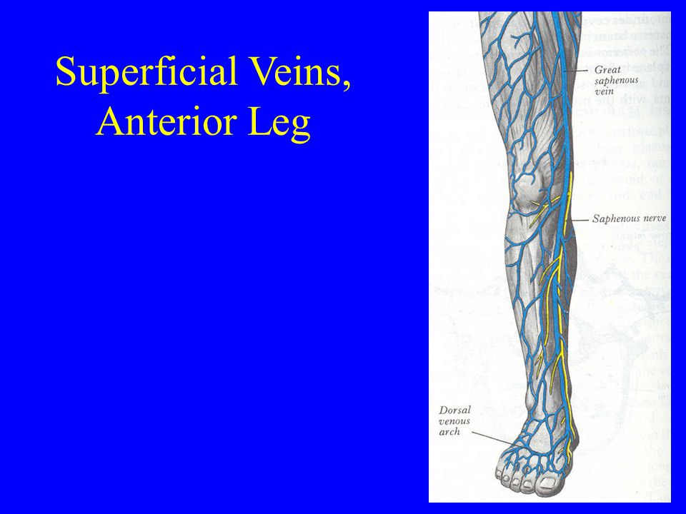 Superficial Veins, Anterior Leg