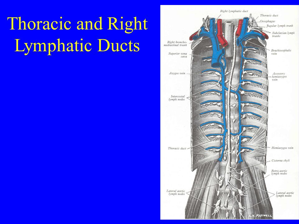 Thoracic and Right Lymphatic Ducts