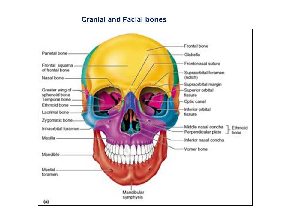 Cranial and Facial bones