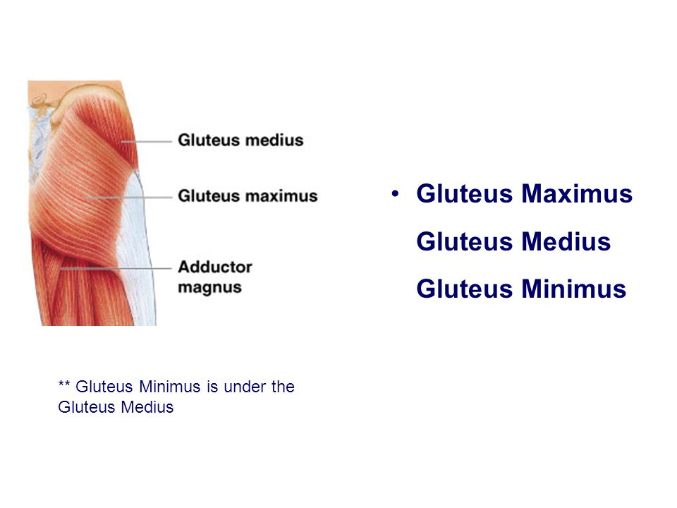 Gluteus Maximus Gluteus Medius Gluteus Minimus