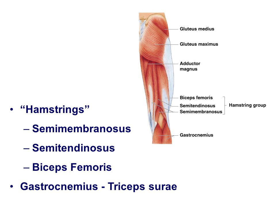 Hamstrings Semimembranosus Semitendinosus Biceps Femoris Gastrocnemius - Triceps surae