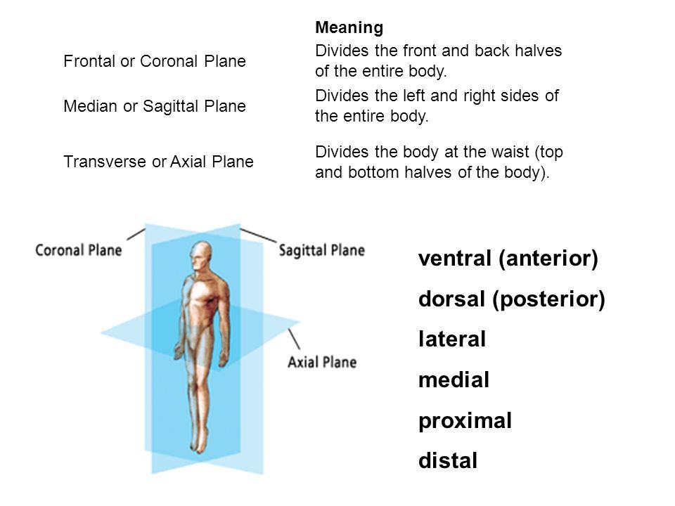 ventral (anterior) dorsal (posterior)