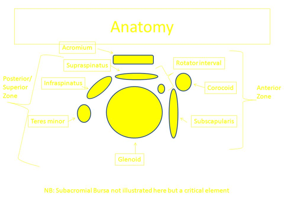 Anatomy Acromium Rotator interval Supraspinatus Posterior/ Superior