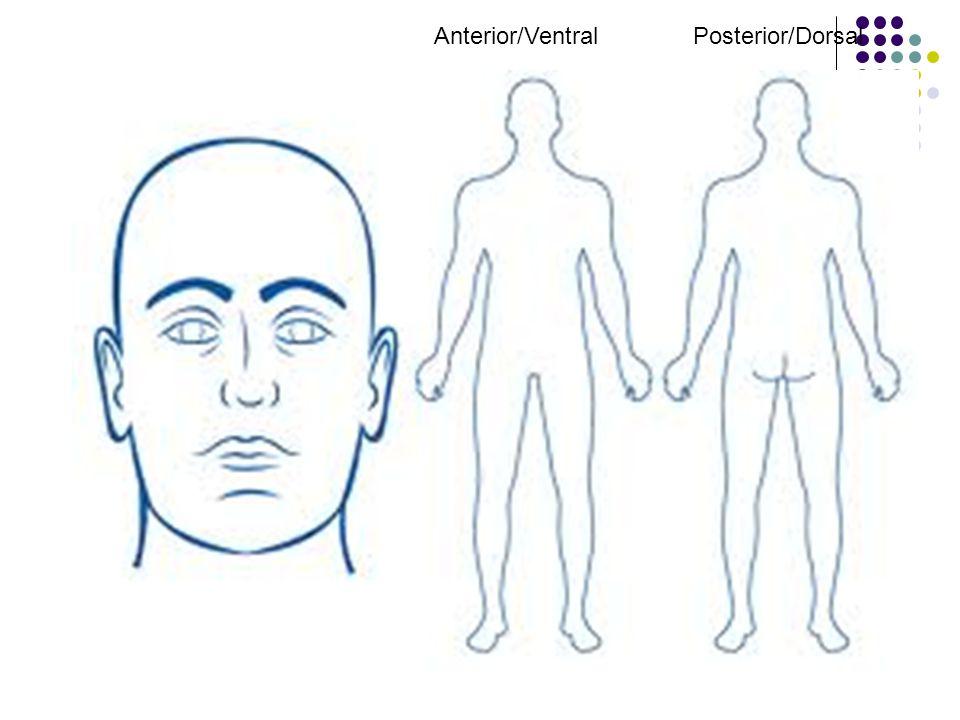 Anterior/Ventral Posterior/Dorsal