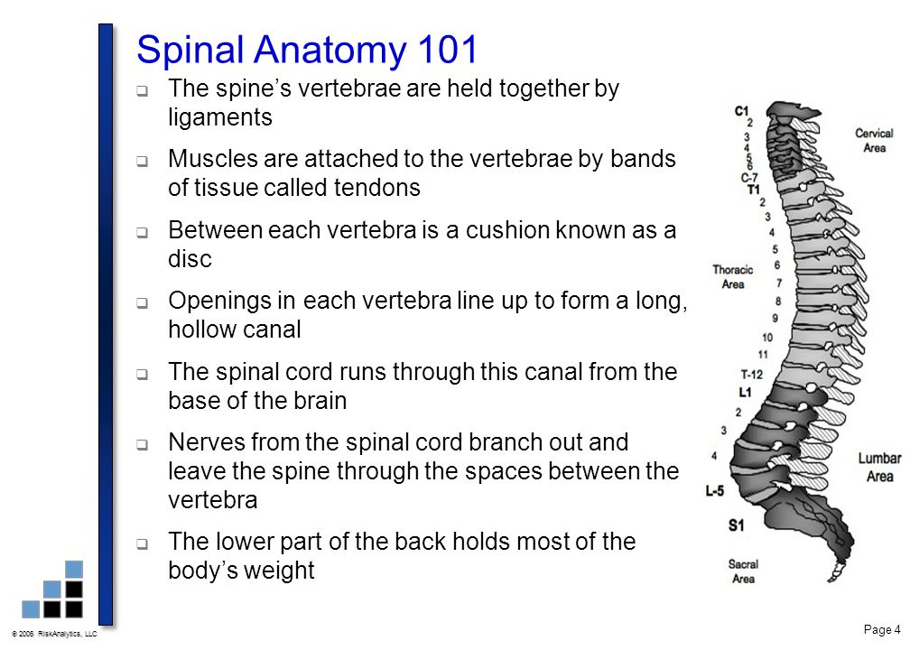 Spinal Anatomy 101 The spine's vertebrae are held together by ligaments. Muscles are attached to the vertebrae by bands of tissue called tendons.