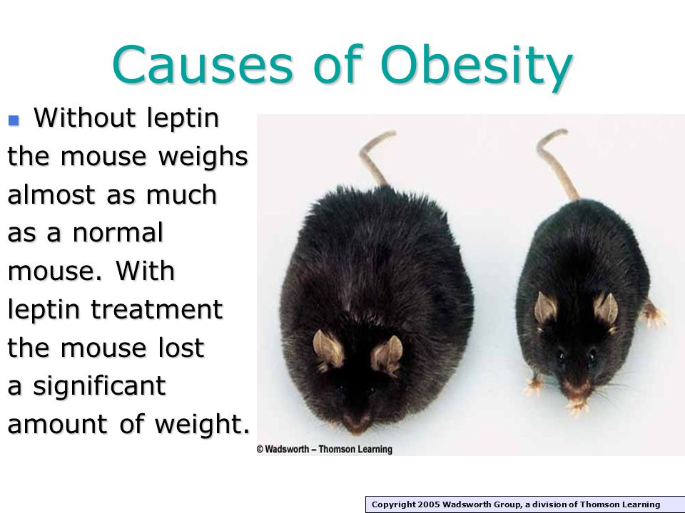 Causes of Obesity Without leptin the mouse weighs almost as much