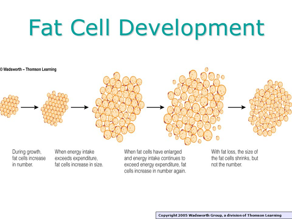 Fat Cell Development Copyright 2005 Wadsworth Group, a division of Thomson Learning
