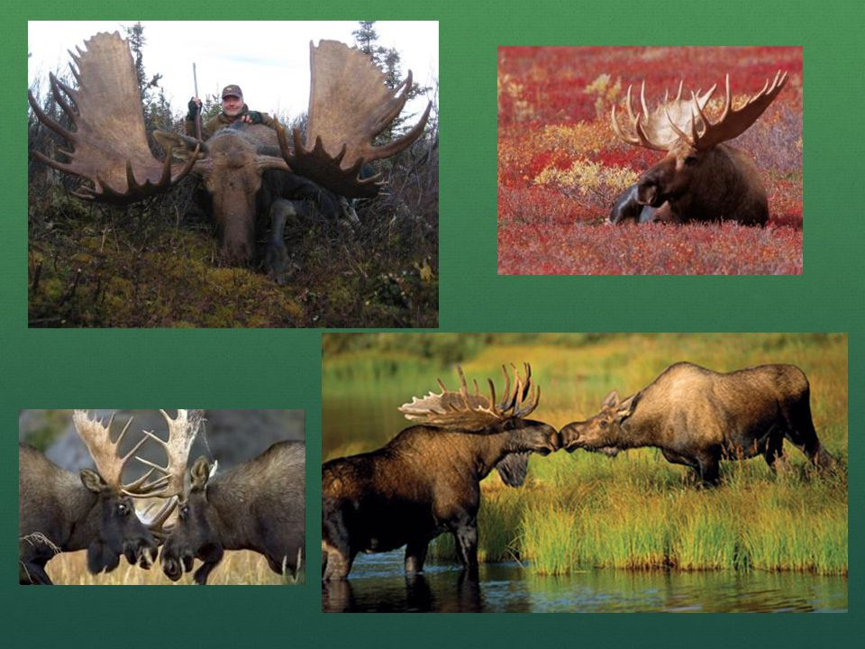 Thought to be the 7th largest in the world. Bull moose is 7 years old.