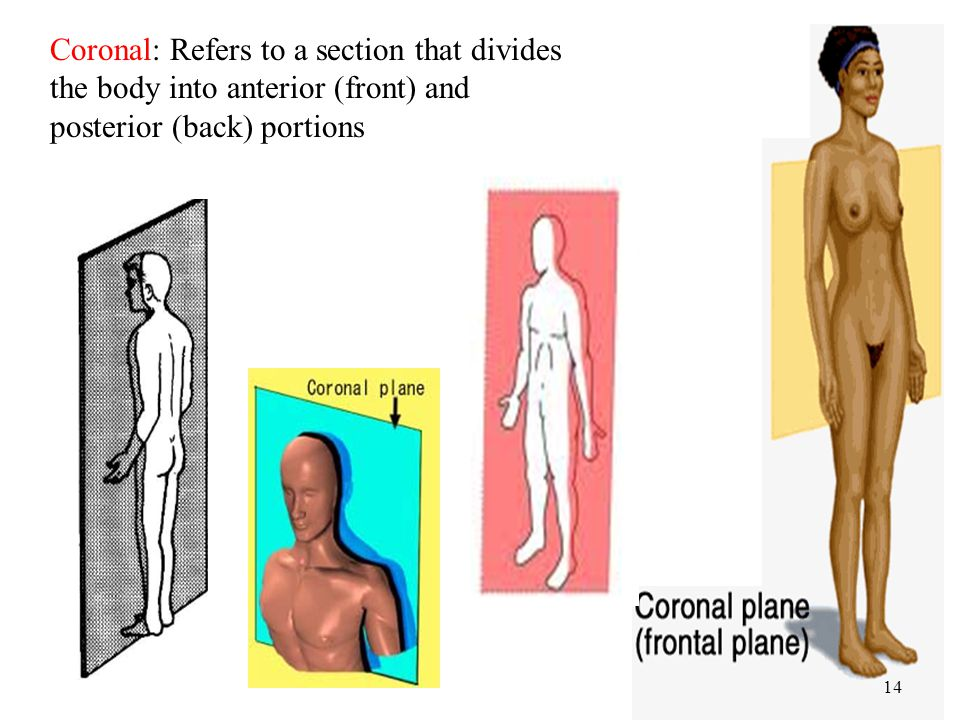 Coronal: Refers to a section that divides the body into anterior (front) and posterior (back) portions