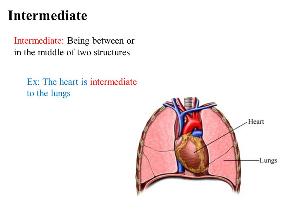Intermediate definition anatomy