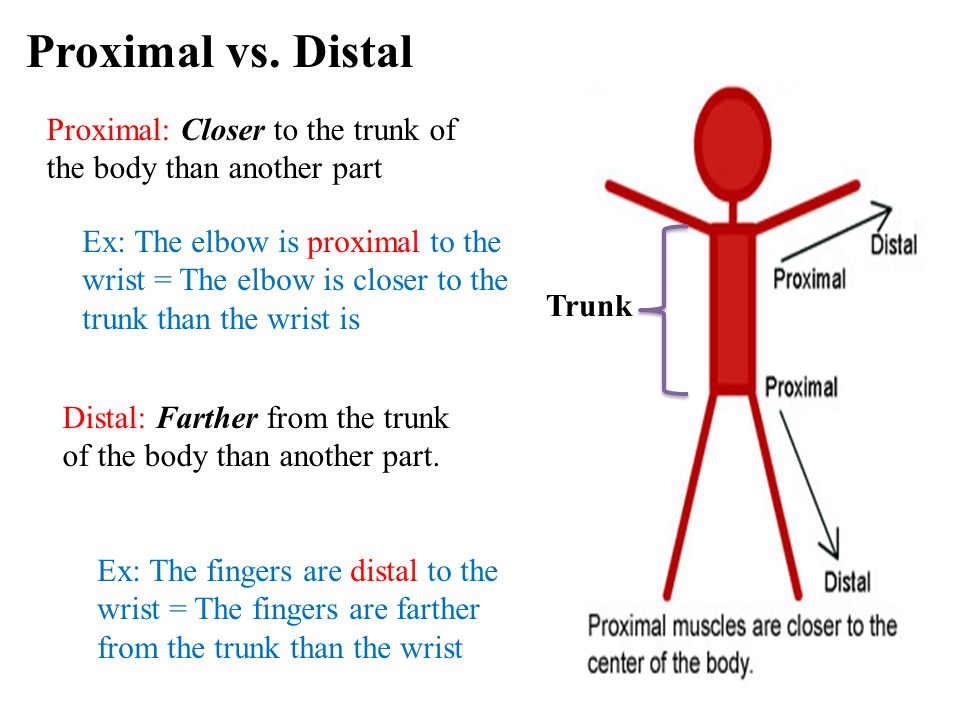 Proximal vs. Distal Proximal: Closer to the trunk of the body than another part.