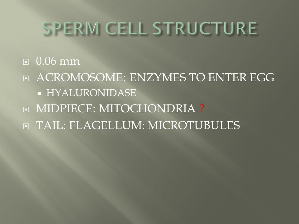 SPERM CELL STRUCTURE 0.06 mm ACROMOSOME: ENZYMES TO ENTER EGG