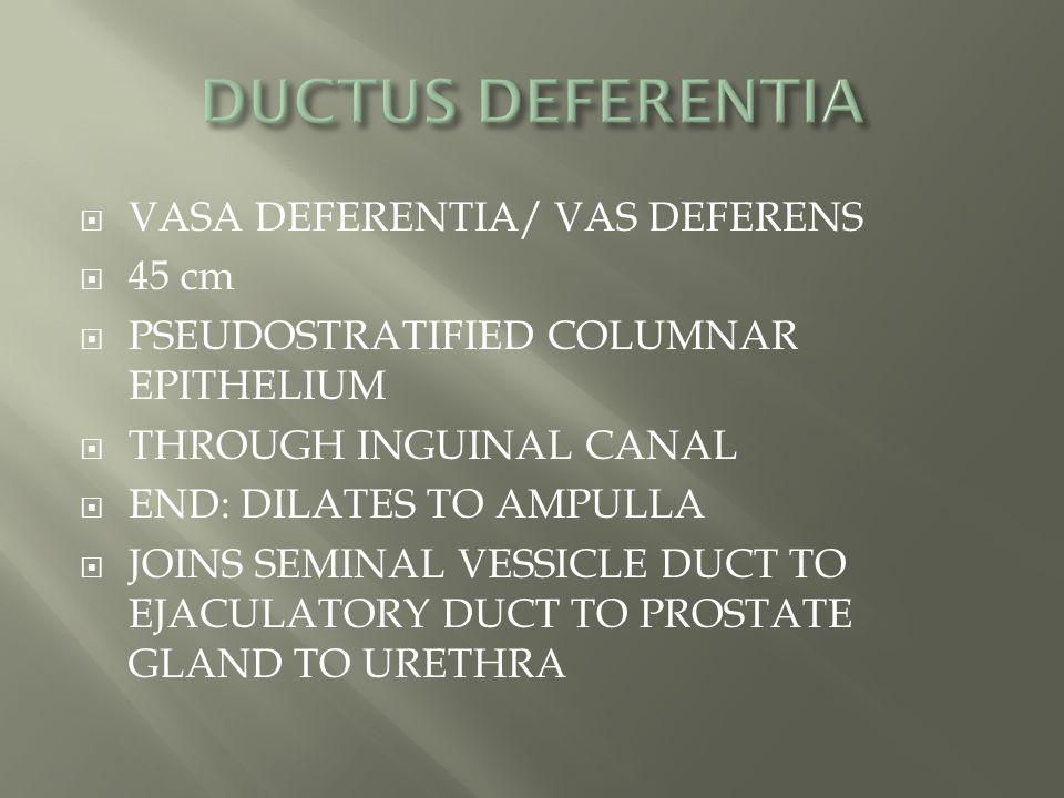 DUCTUS DEFERENTIA VASA DEFERENTIA/ VAS DEFERENS 45 cm