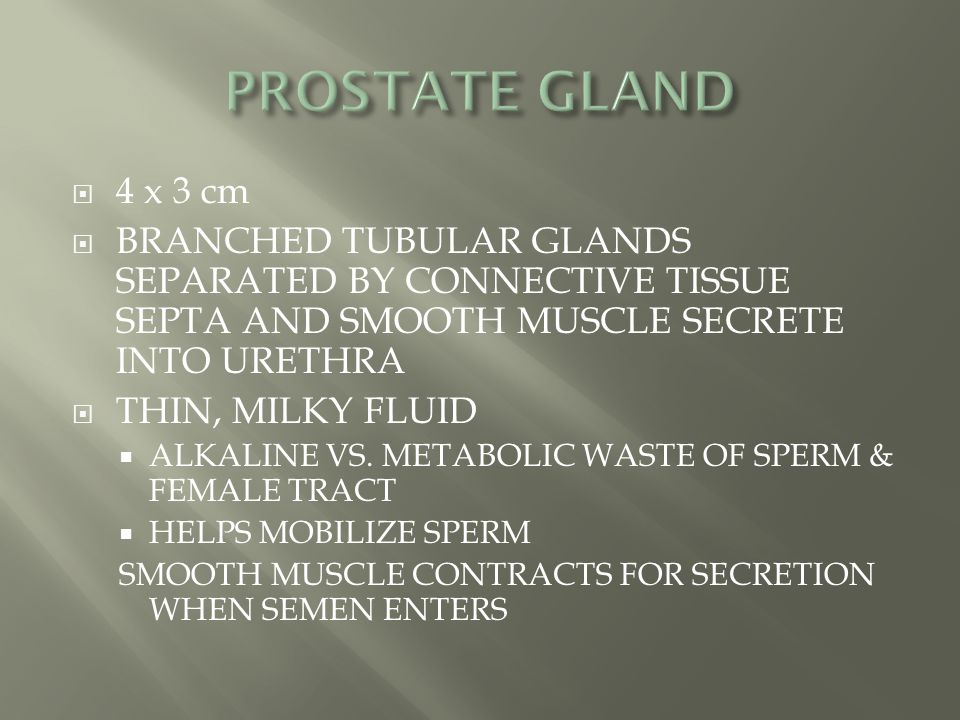 PROSTATE GLAND 4 x 3 cm. BRANCHED TUBULAR GLANDS SEPARATED BY CONNECTIVE TISSUE SEPTA AND SMOOTH MUSCLE SECRETE INTO URETHRA.