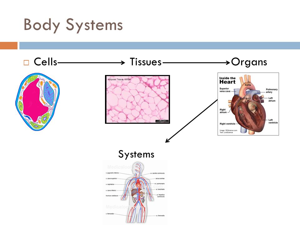 Body Systems Cells Tissues Organs Systems