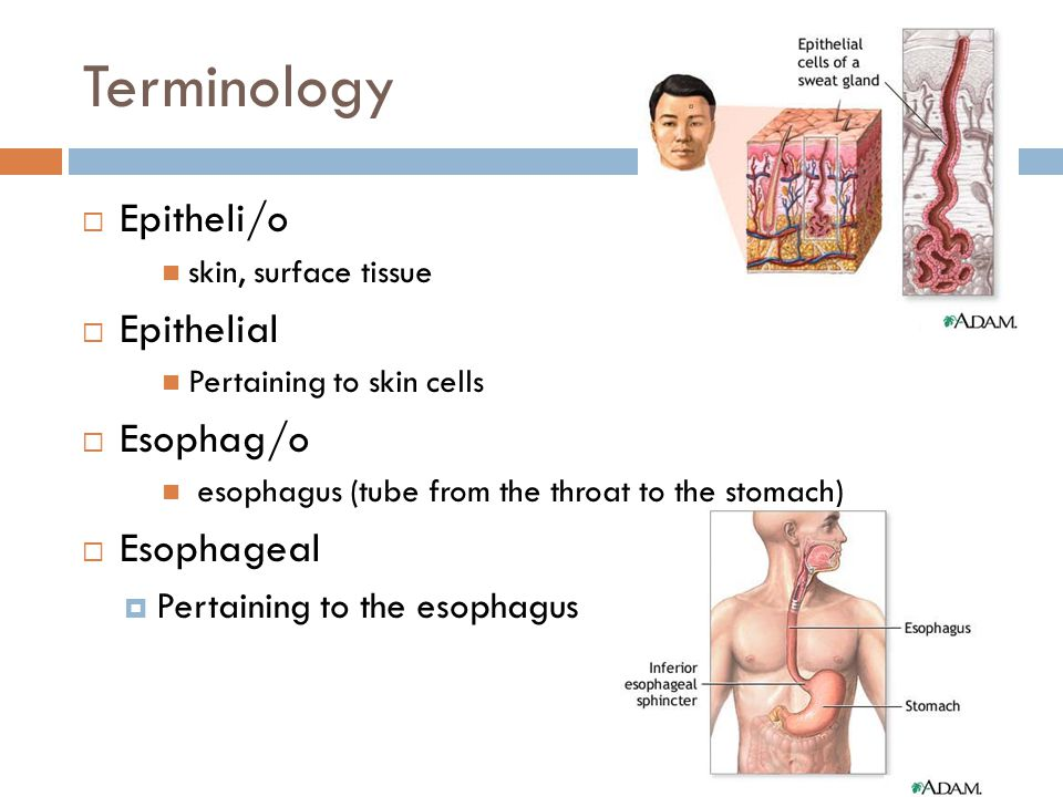 Terminology Epitheli/o Epithelial Esophag/o Esophageal