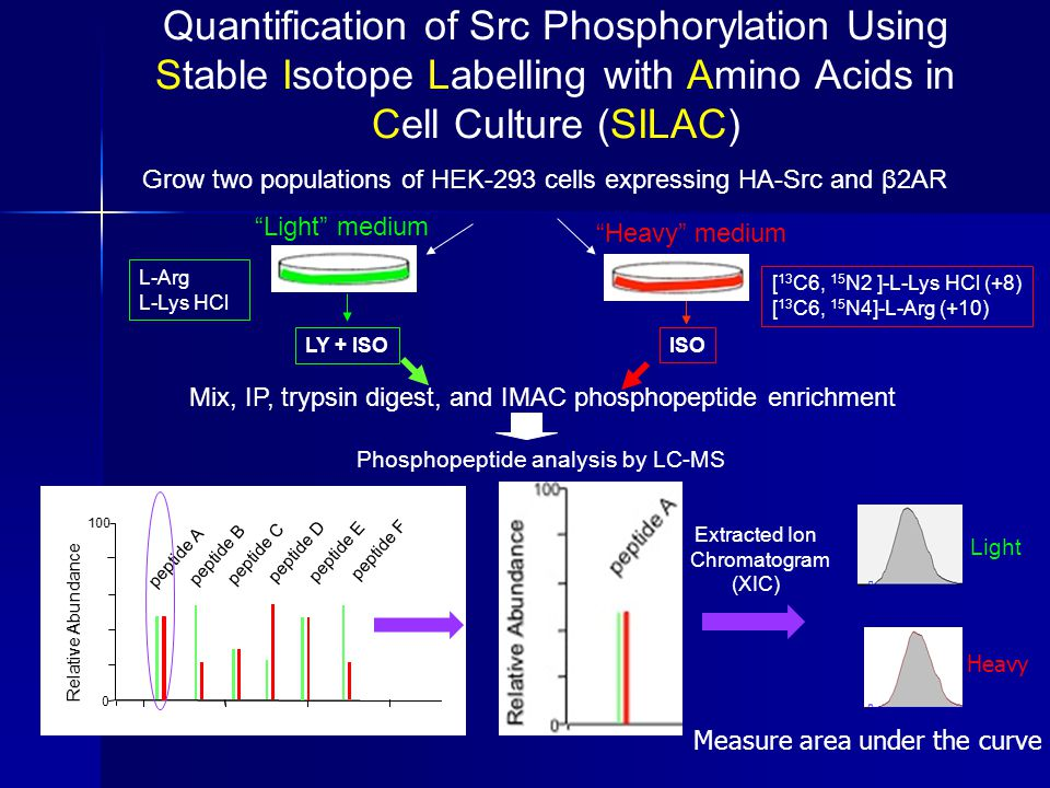 Quantification of Src Phosphorylation Using Stable Isotope Labelling with Amino Acids in Cell Culture (SILAC)