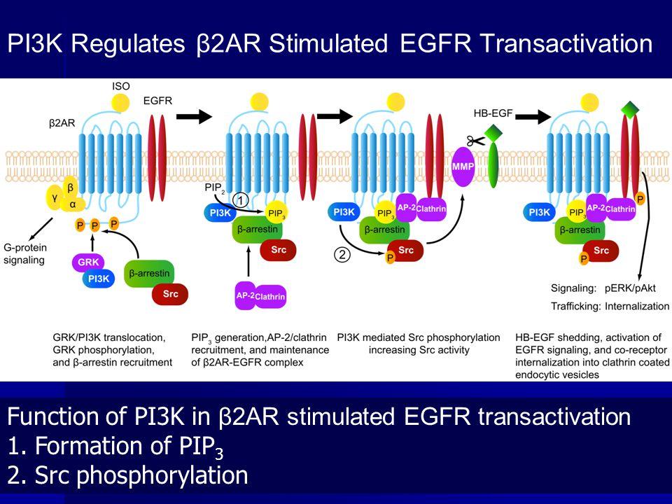 PI3K Regulates β2AR Stimulated EGFR Transactivation