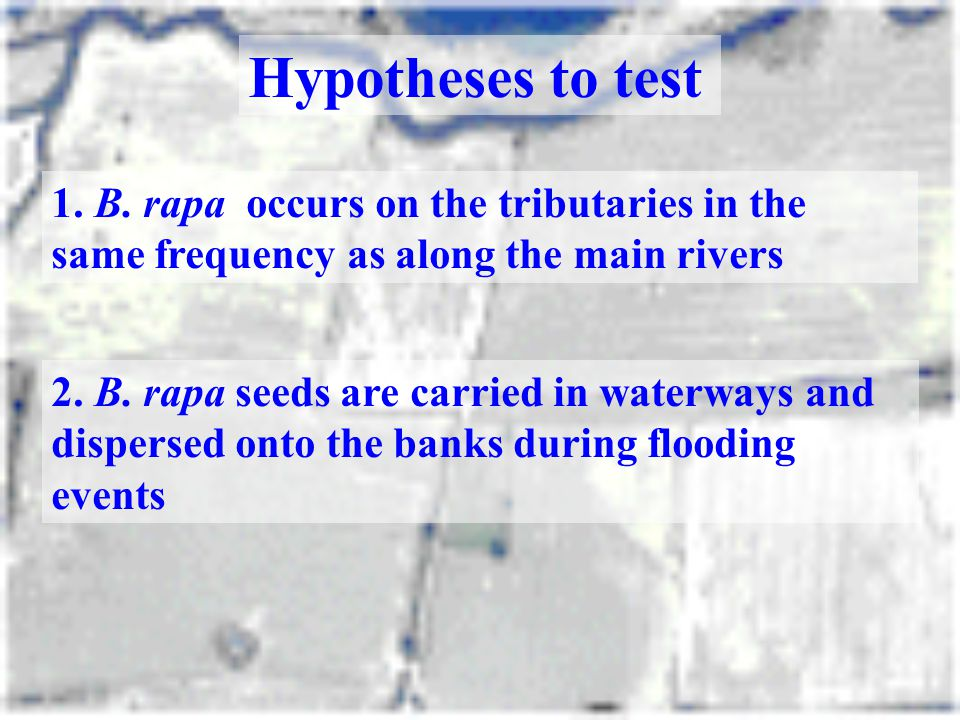 Hypotheses to test 1. B. rapa occurs on the tributaries in the same frequency as along the main rivers.