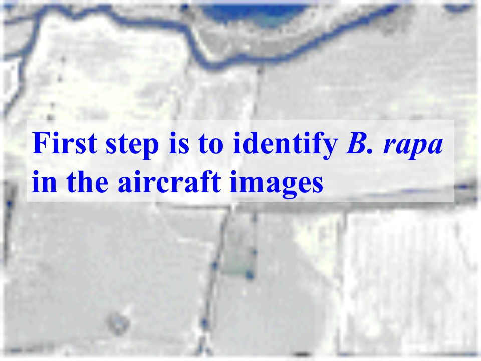First step is to identify B. rapa in the aircraft images