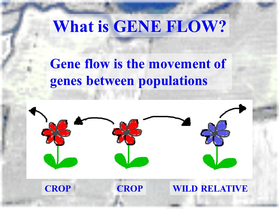 What is GENE FLOW Gene flow is the movement of genes between populations CROP CROP WILD RELATIVE