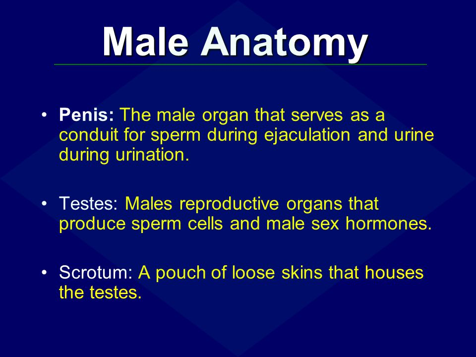 Male Anatomy Penis: The male organ that serves as a conduit for sperm during ejaculation and urine during urination.