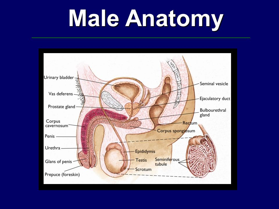Male Anatomy