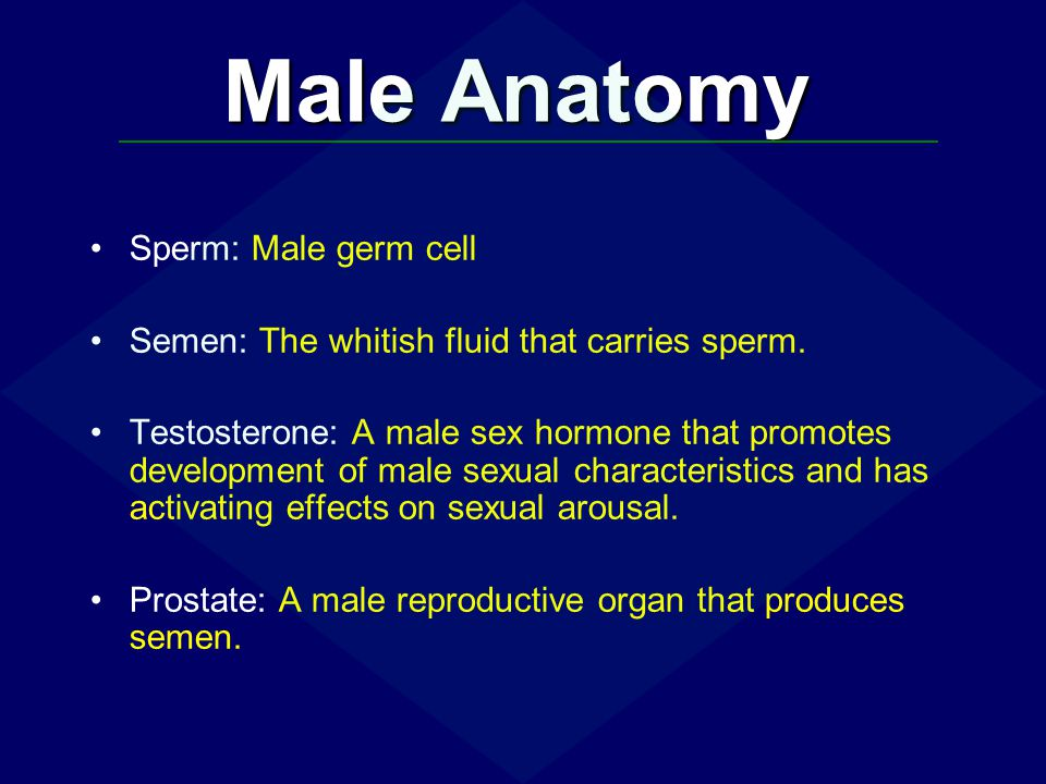Male Anatomy Sperm: Male germ cell