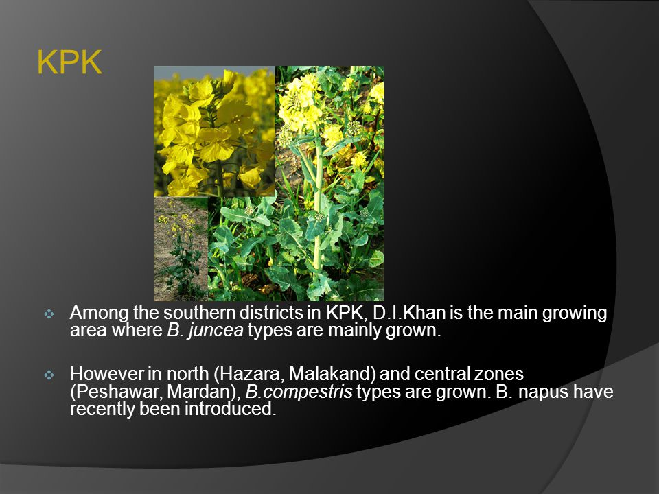 KPK Among the southern districts in KPK, D.I.Khan is the main growing area where B. juncea types are mainly grown.