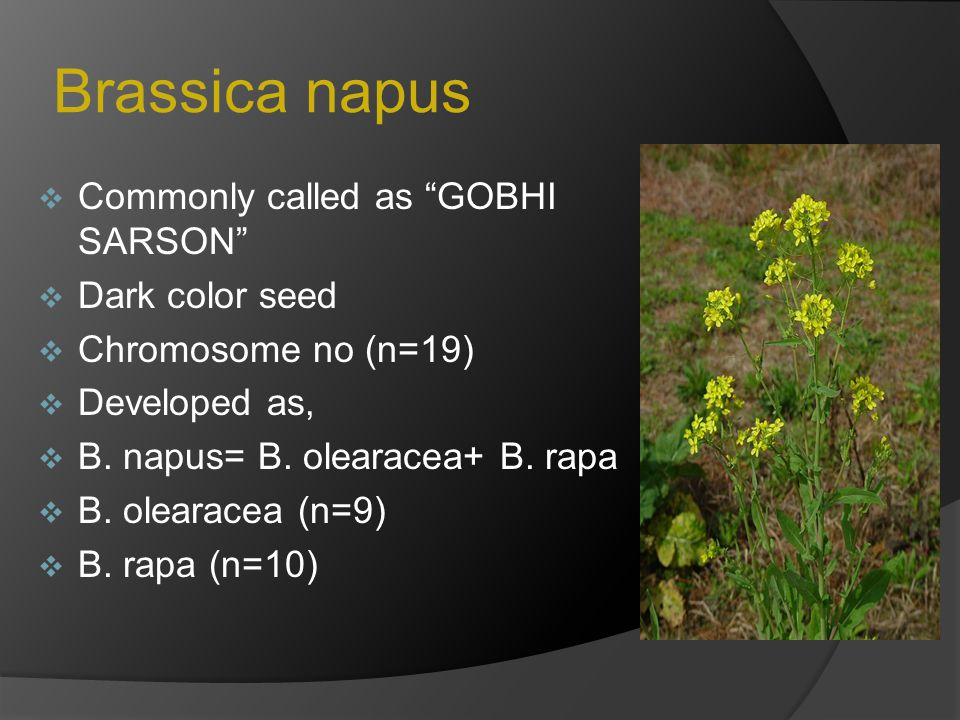 Brassica napus Commonly called as GOBHI SARSON Dark color seed