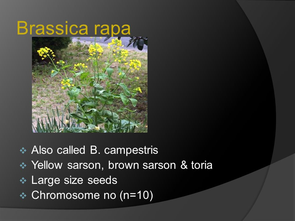 Brassica rapa Also called B. campestris