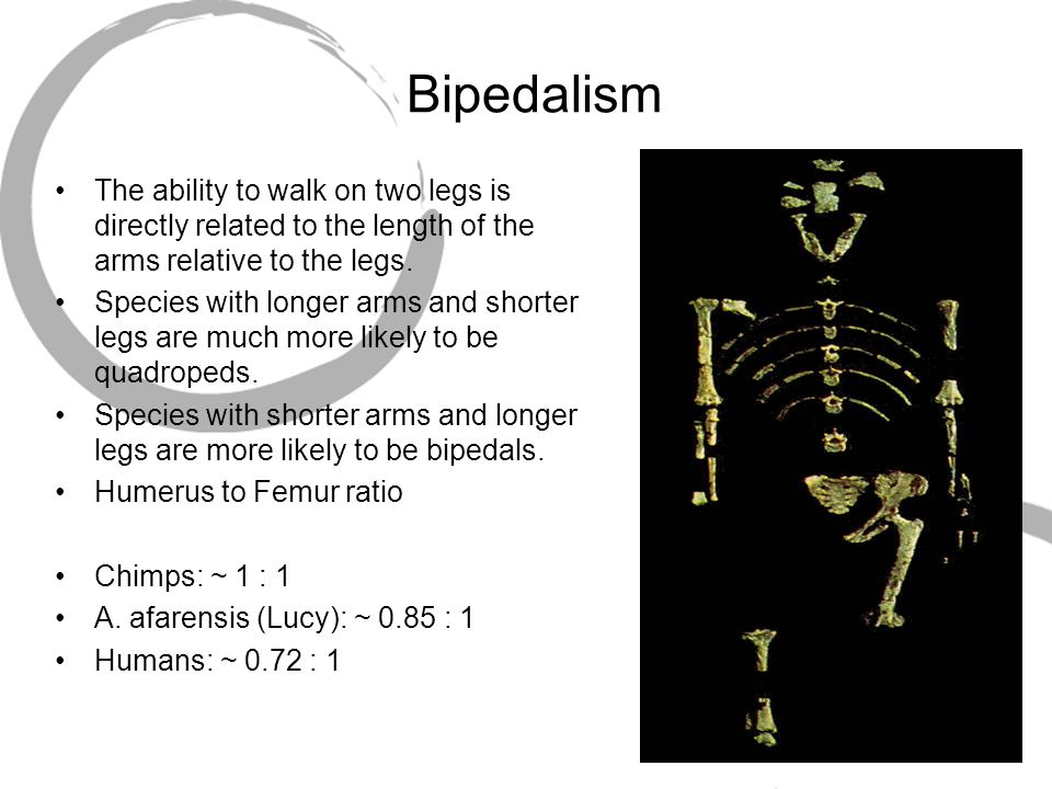 Bipedalism The ability to walk on two legs is directly related to the length of the arms relative to the legs.
