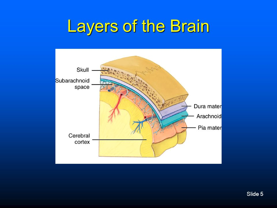 Layers of the Brain