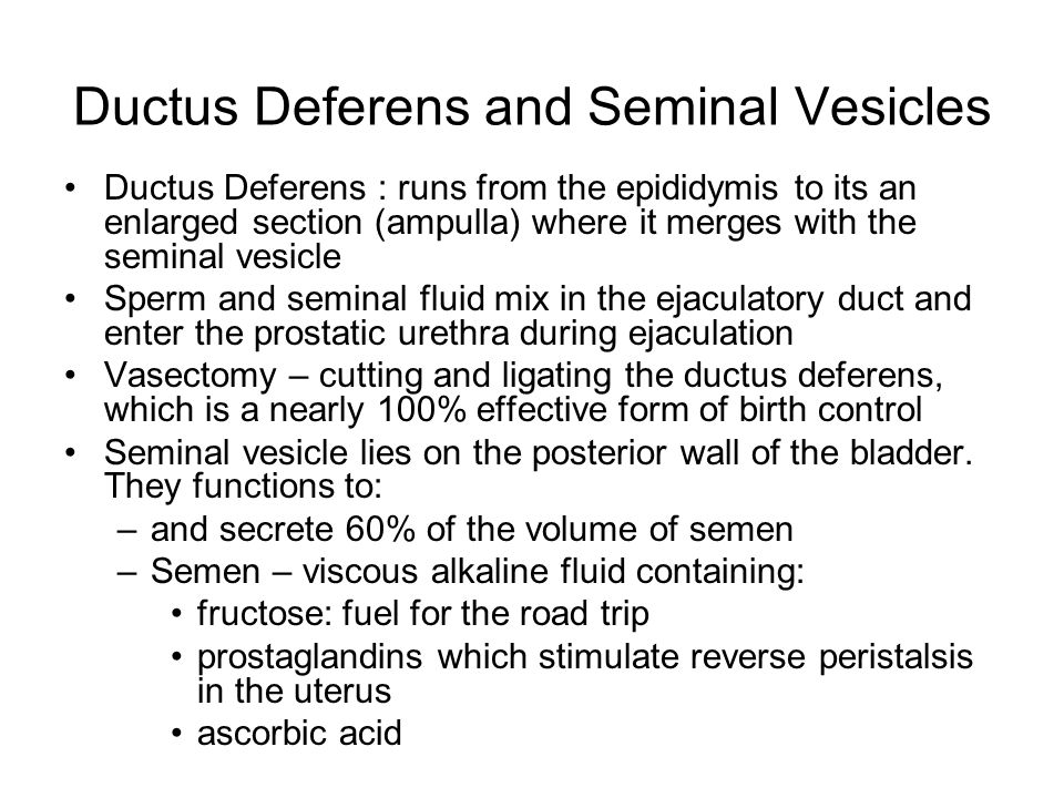 Ductus Deferens and Seminal Vesicles