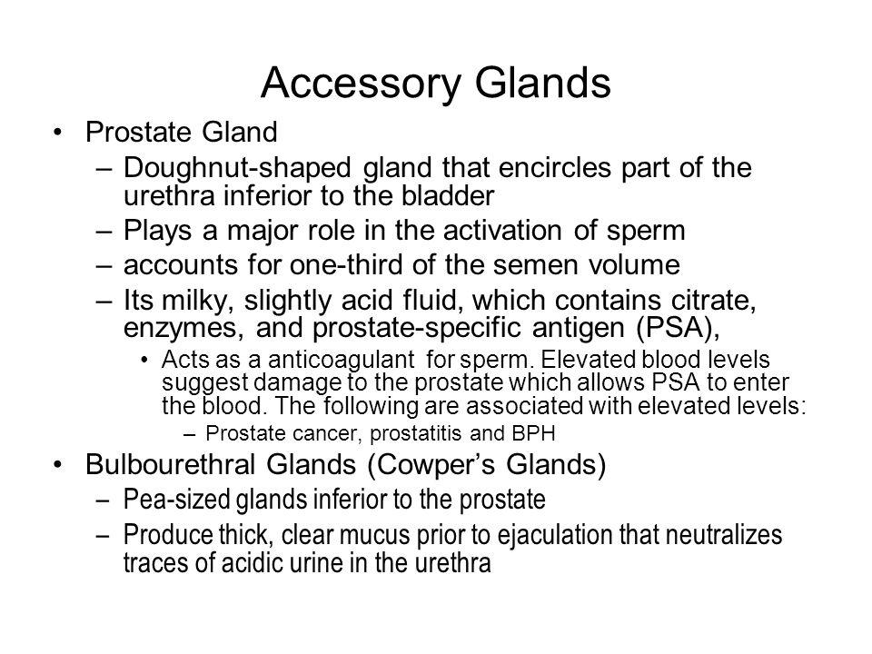 Accessory Glands Prostate Gland