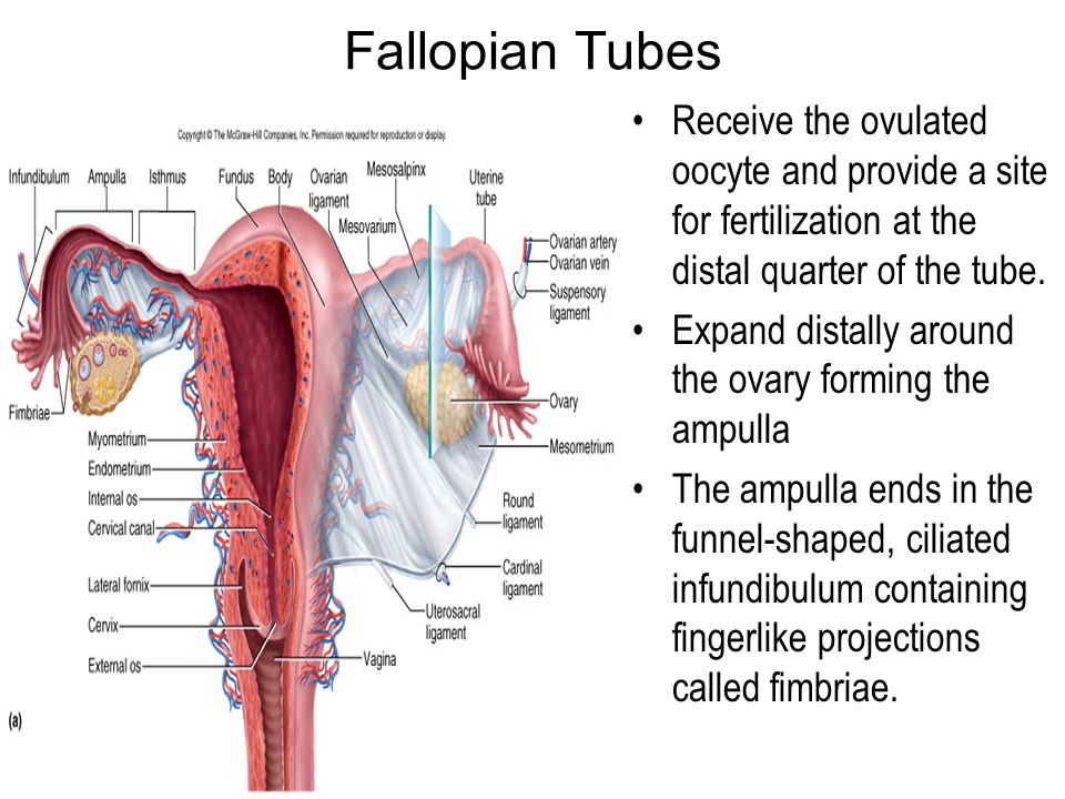 Fallopian Tubes Receive the ovulated oocyte and provide a site for fertilization at the distal quarter of the tube.