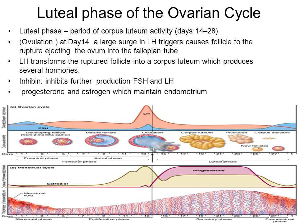Luteal phase of the Ovarian Cycle