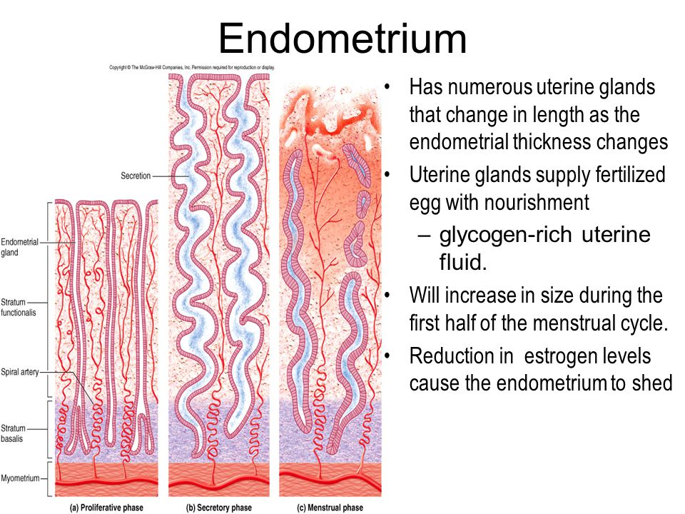 Endometrium Has numerous uterine glands that change in length as the endometrial thickness changes.
