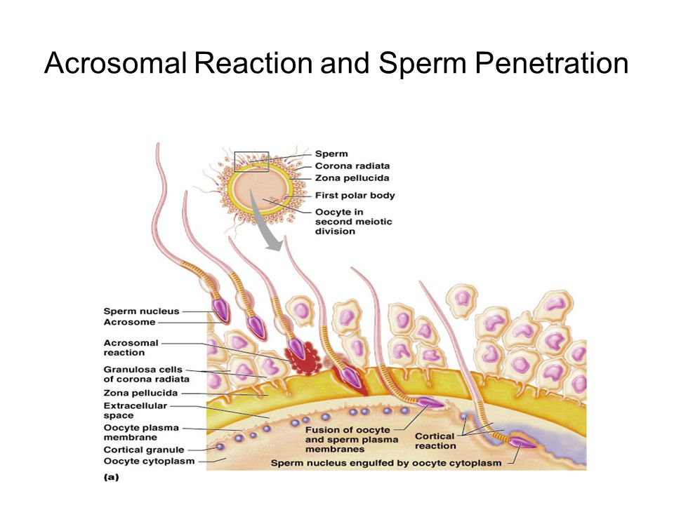Acrosomal Reaction and Sperm Penetration