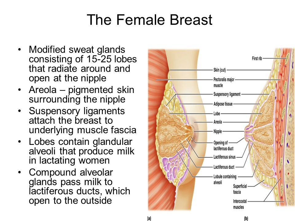 The Female Breast Modified sweat glands consisting of 15-25 lobes that radiate around and open at the nipple.