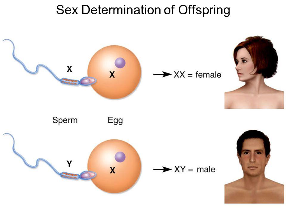 Sex Determination of Offspring
