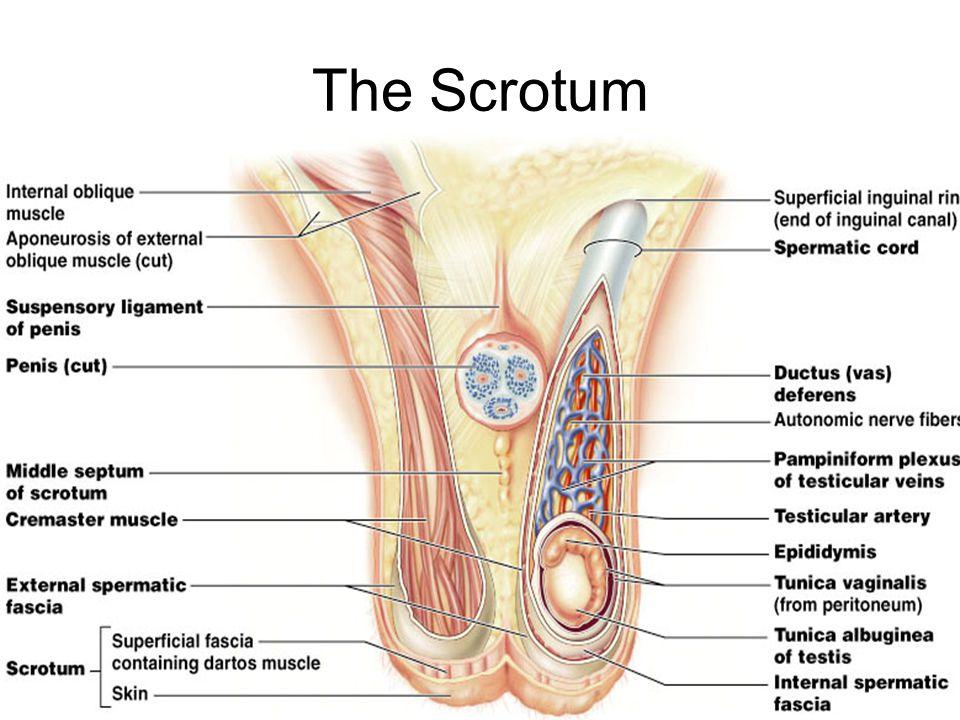 The Scrotum Figure 27.2