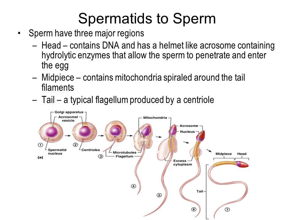 Spermatids to Sperm Sperm have three major regions