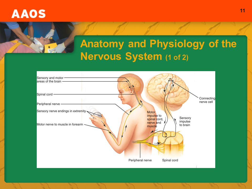 Anatomy and Physiology of the Nervous System (1 of 2)