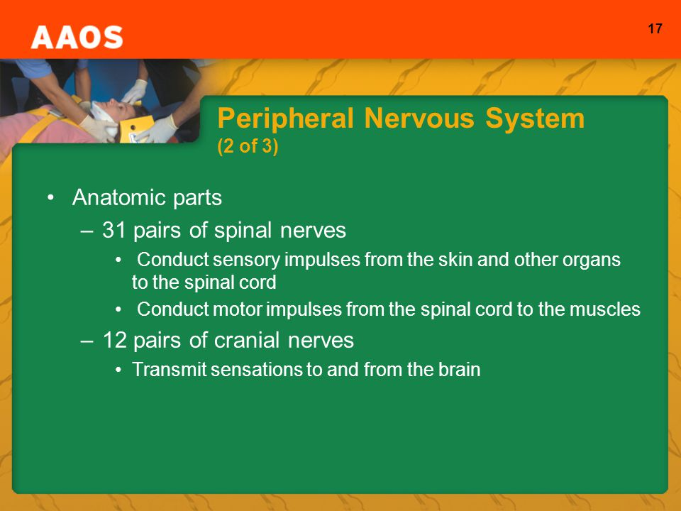 Peripheral Nervous System (2 of 3)
