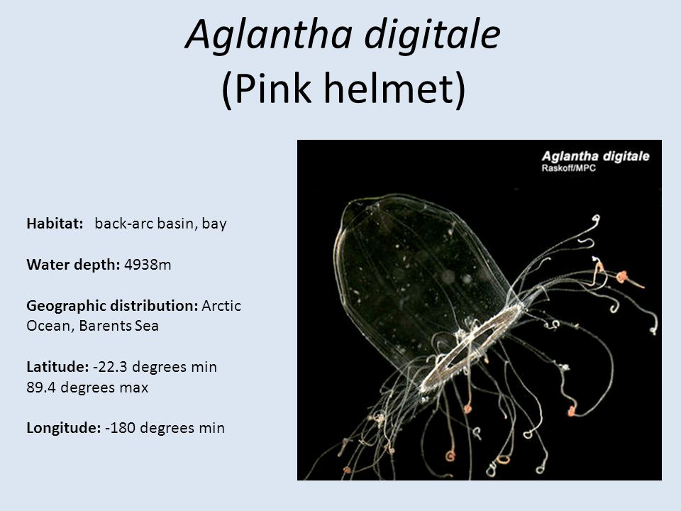 Aglantha digitale (Pink helmet) Habitat: back-arc basin, bay